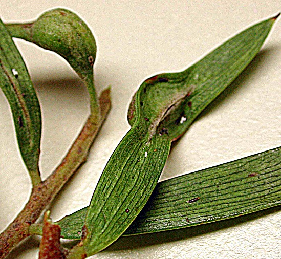 Image of Thrips galls distorting the leaves of a wattle