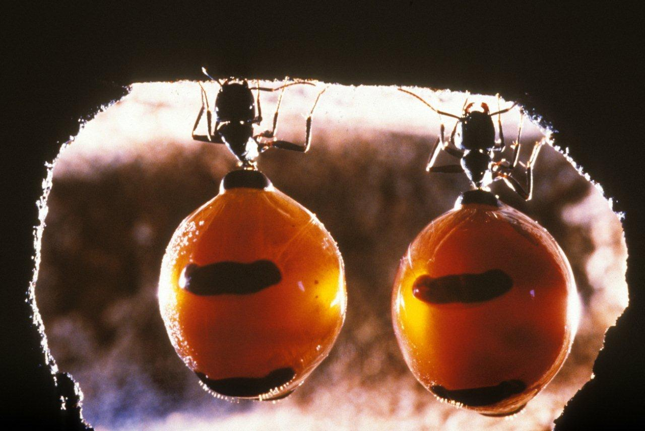 Honeypot ants hanging upside down