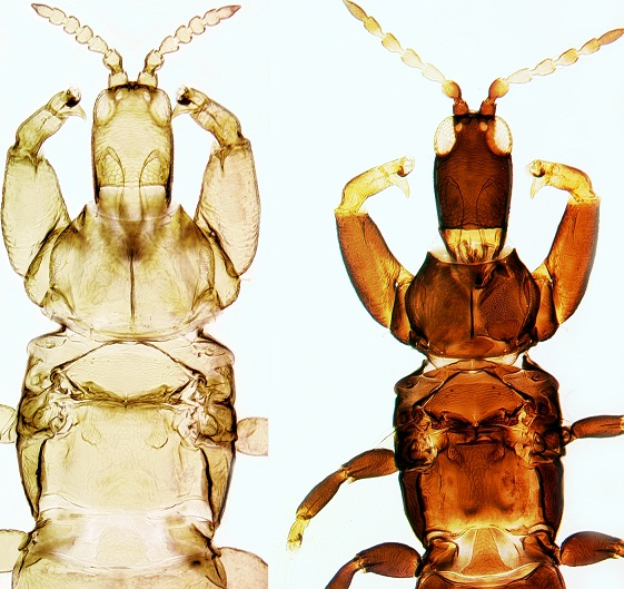 Image of two Acacia thrips females