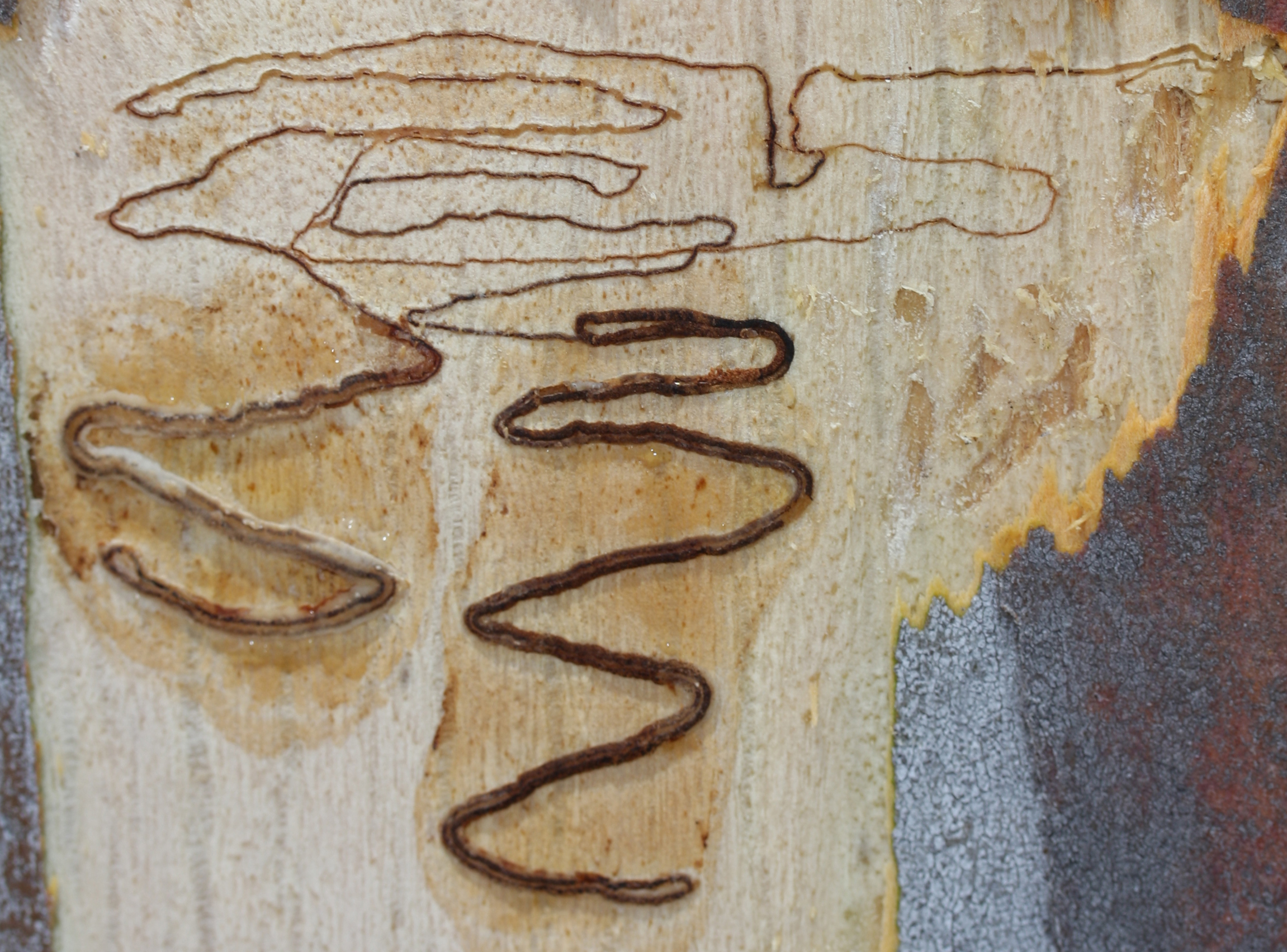 Close up of scribbles in the side of a scribbly gum tree.