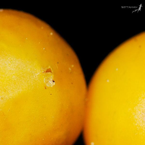 fruit wound