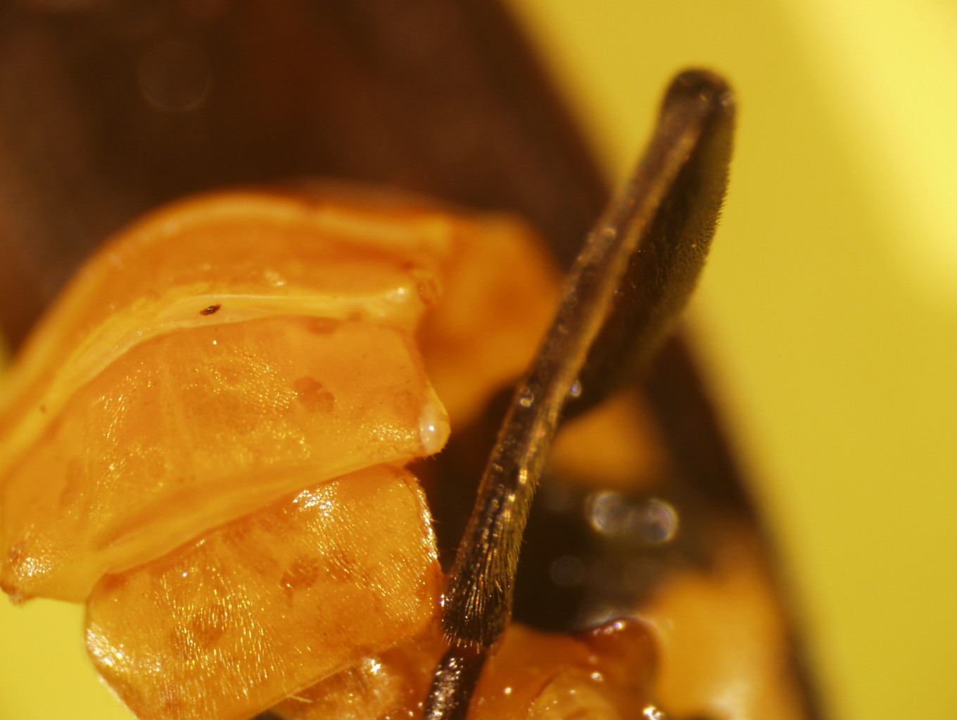 Close up image of the secreted fluid of a soldier beetle