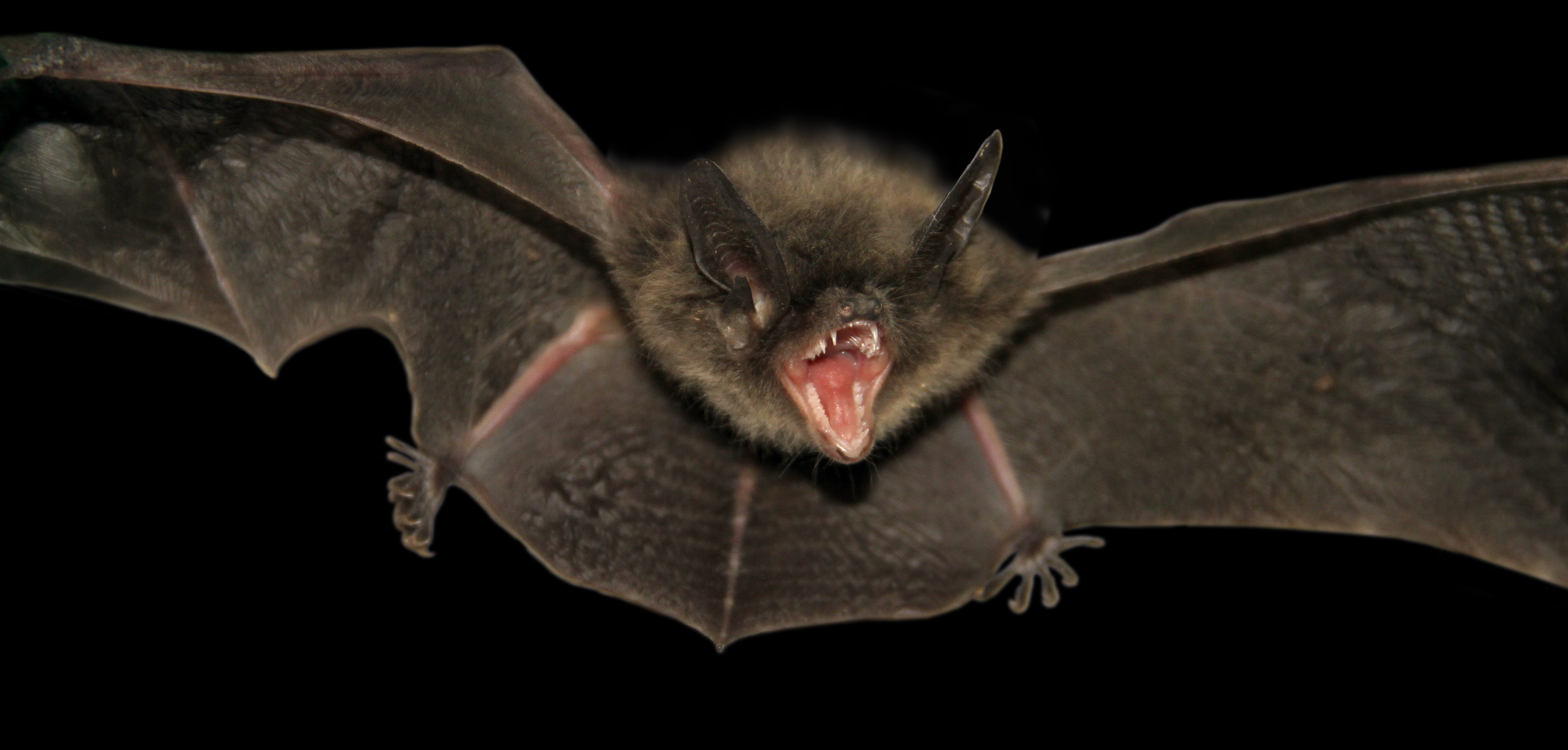 Picture of chinese micro bat David's Myotis, with mouth open and wings spread, on a black background
