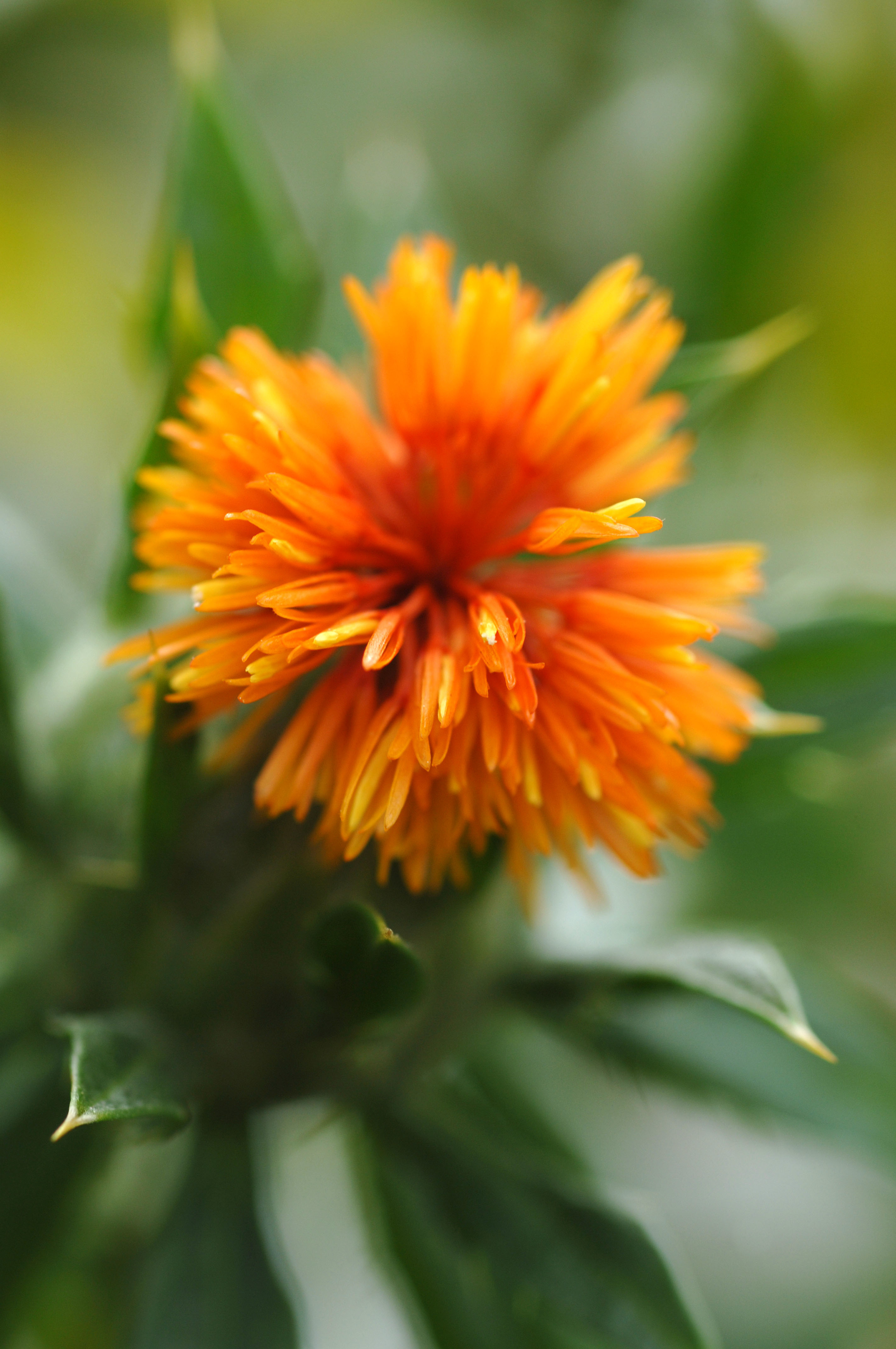 Safflower power! Safflower can be used to produce oils and biomaterials.