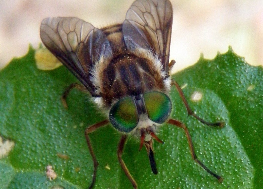 Black fly with large green eyes