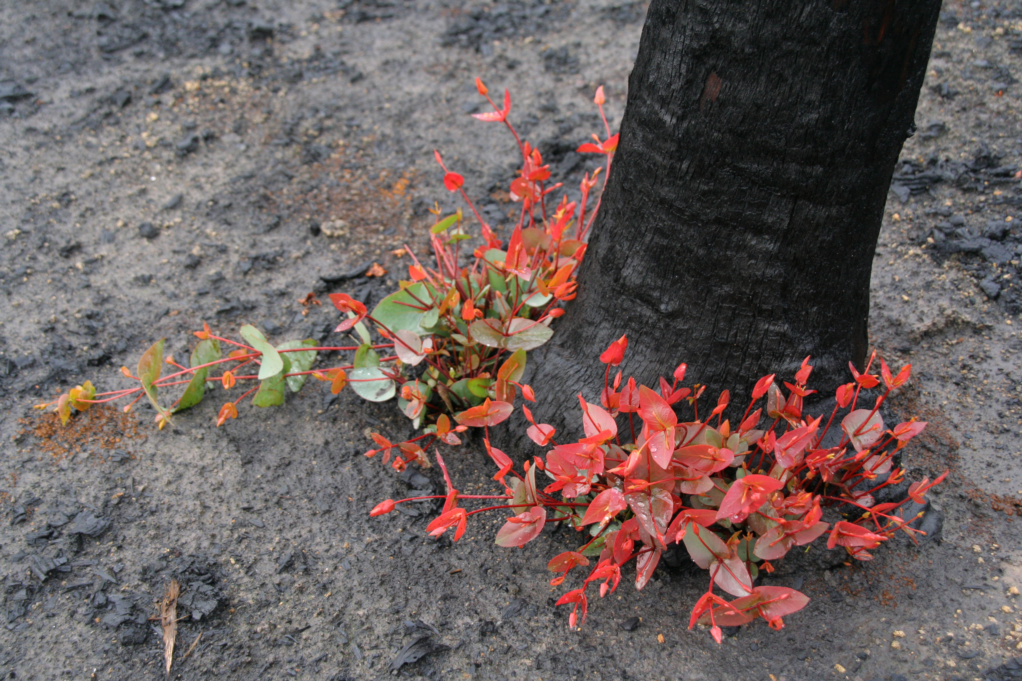 Epicormic regrowth from base of Eucalyptus tree, four months after Black Saturday bushfires, Strathewen, Victoria. Image: CSIRO