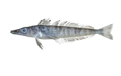Common name: Mackerel Icefish. Scientific name: Champsocephalus gunnari. Family: Channichthyidae.