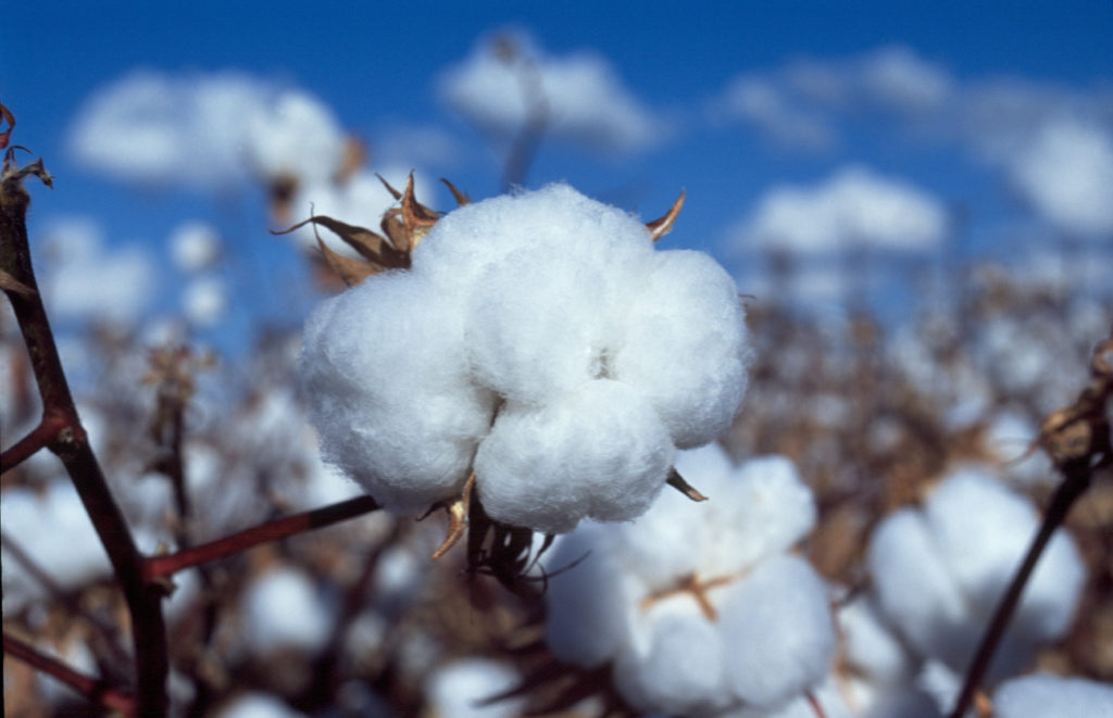 a boll of cotton