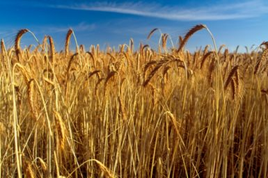 A field of ripe golden wheat under a blue sky