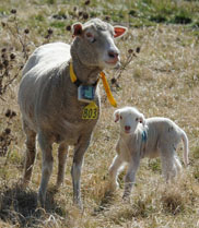 Sheep tags are being tested on the Kirby Smart Farm in Armidale - they give information about animal behaviour.