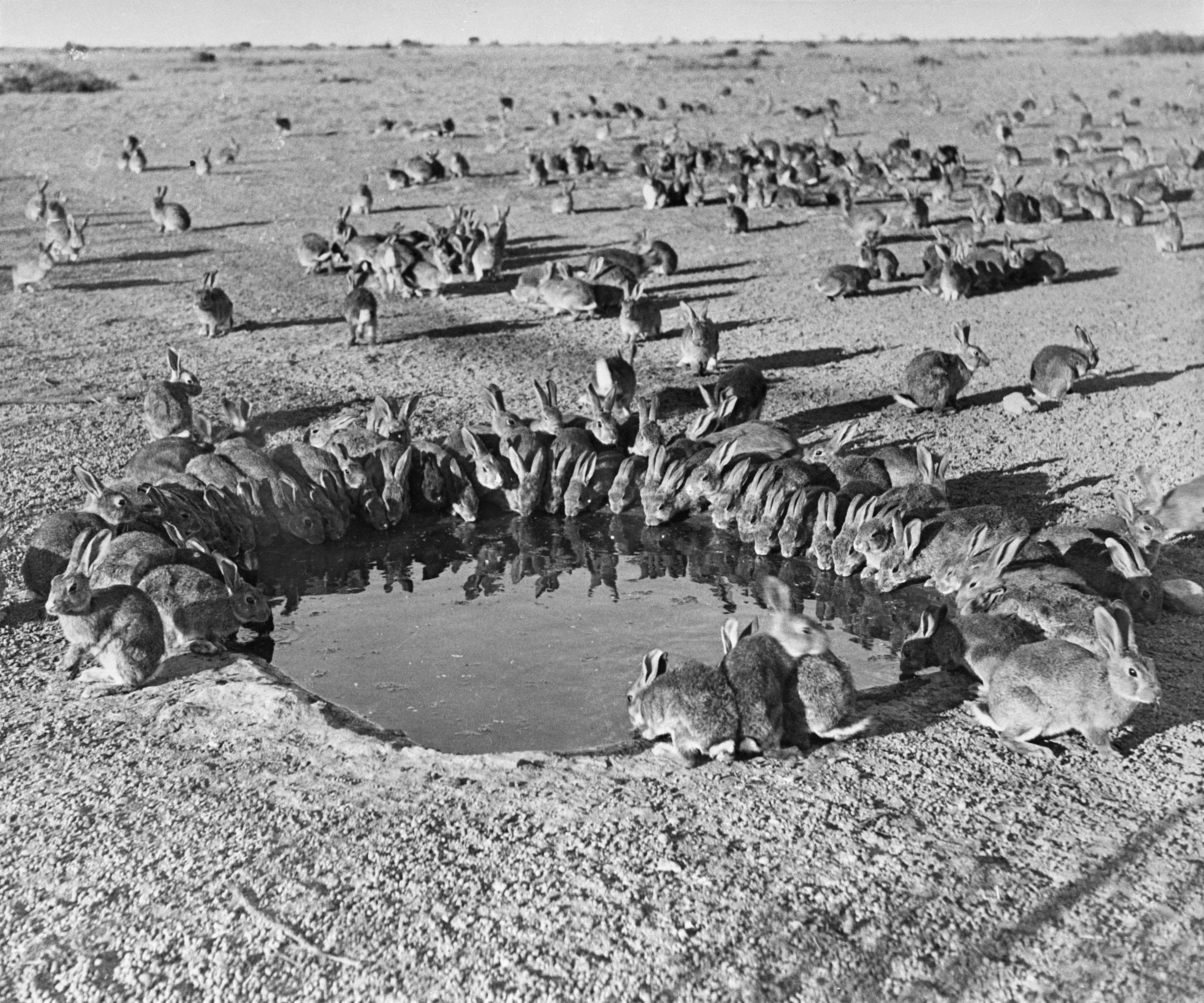 Black and white photo of rabbits clustering around a small waterhole
