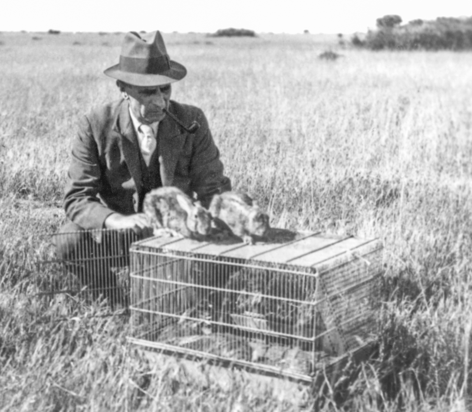 Lionel Bull, Chief of the CSIR Division of Animal Health and Nutition, releasing the first infected rabbits as part of the myxoma virus trial. (click for full size image)