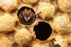 A bee poking it's head of of a honey comb