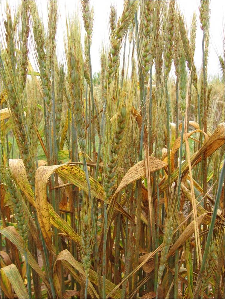 wheat plants covered in yellow rust fungus