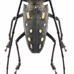 A black beetle with long antennae