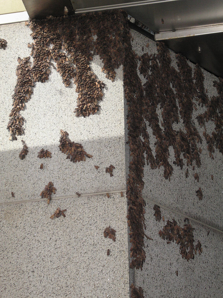 large group of moths gathered on the wall of a building