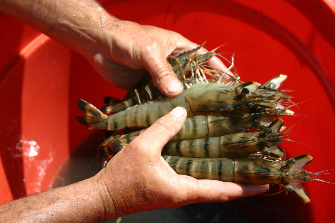someone holding several large live prawns