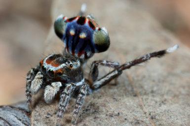 small spider with coloured abdomen