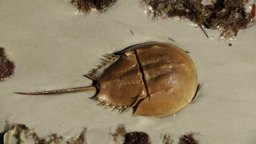 Horseshoe Crab on the sand