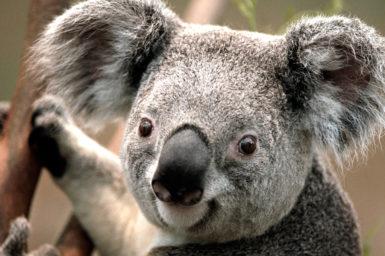 Koala head and shoulder shot
