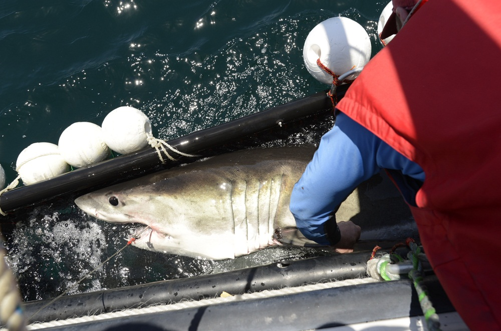 Tagging a 2.4 m juvenile white shark.