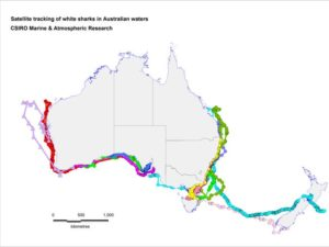 Satellite tracking of white sharks in Australia.