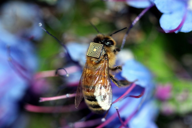Micro-sensing backpacks are being fitted to 5000 Tasmanian bees.