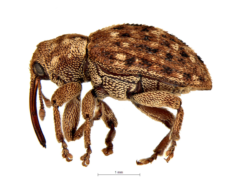 Weevil Lyaeba species. Image: Debbie Jennings