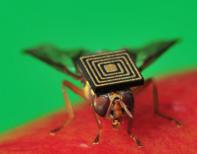 Queensland backpacker: a fruit fly fitted with a micro-sensor.