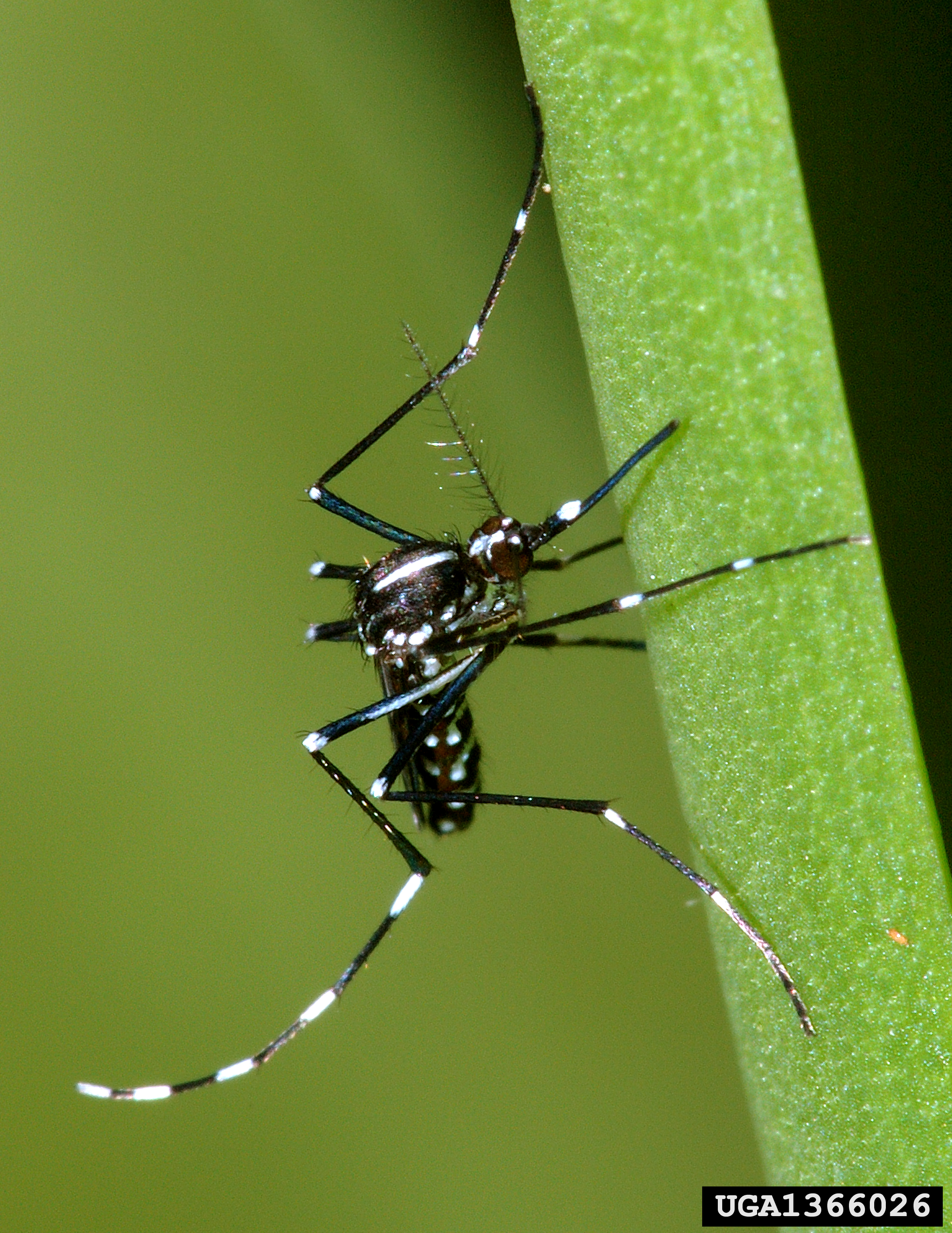 Small but deadly: the Asian tiger mosquito is one of the world's deadliest pests.