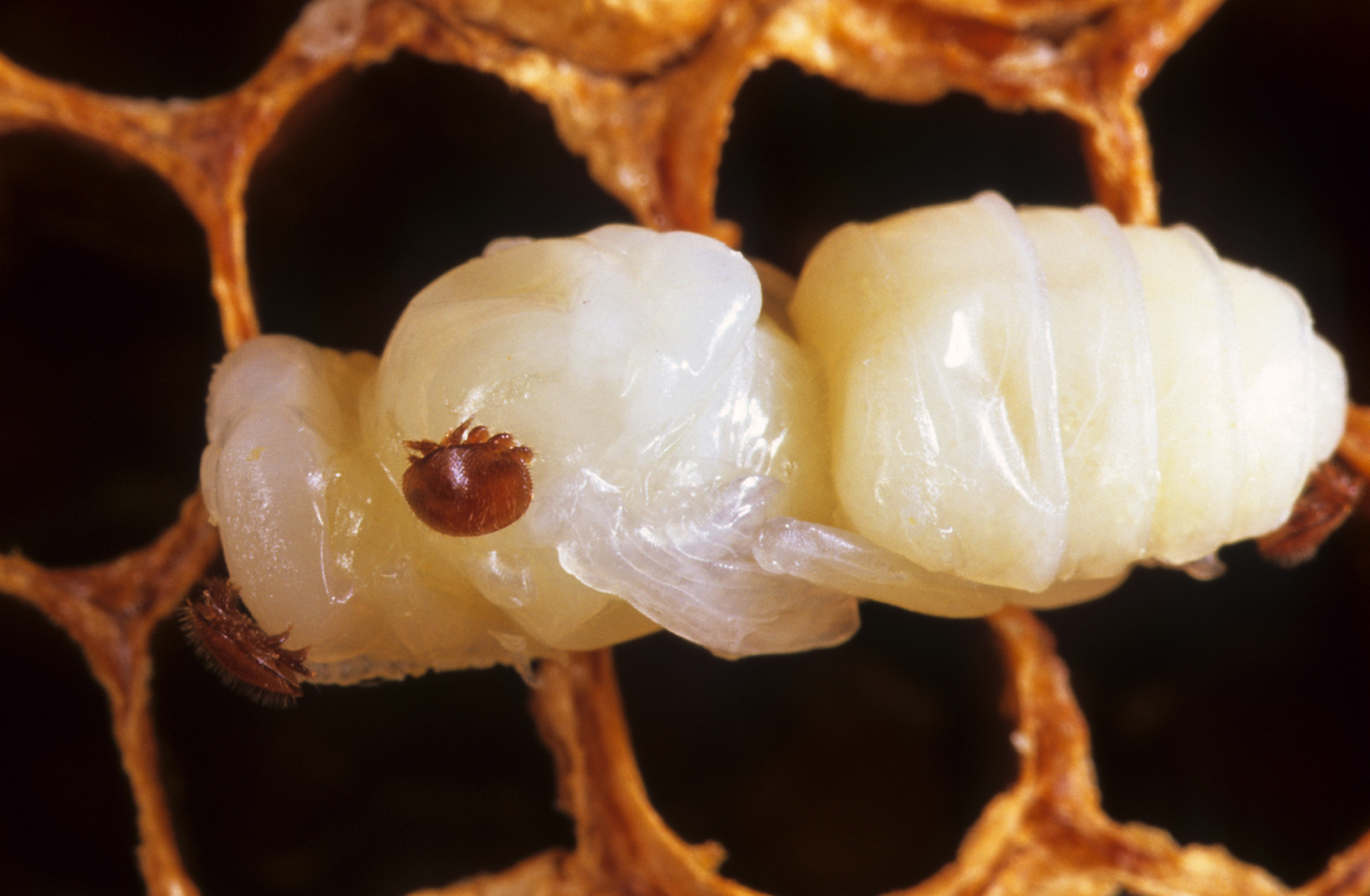 A Varroa mite on a bee pupae.