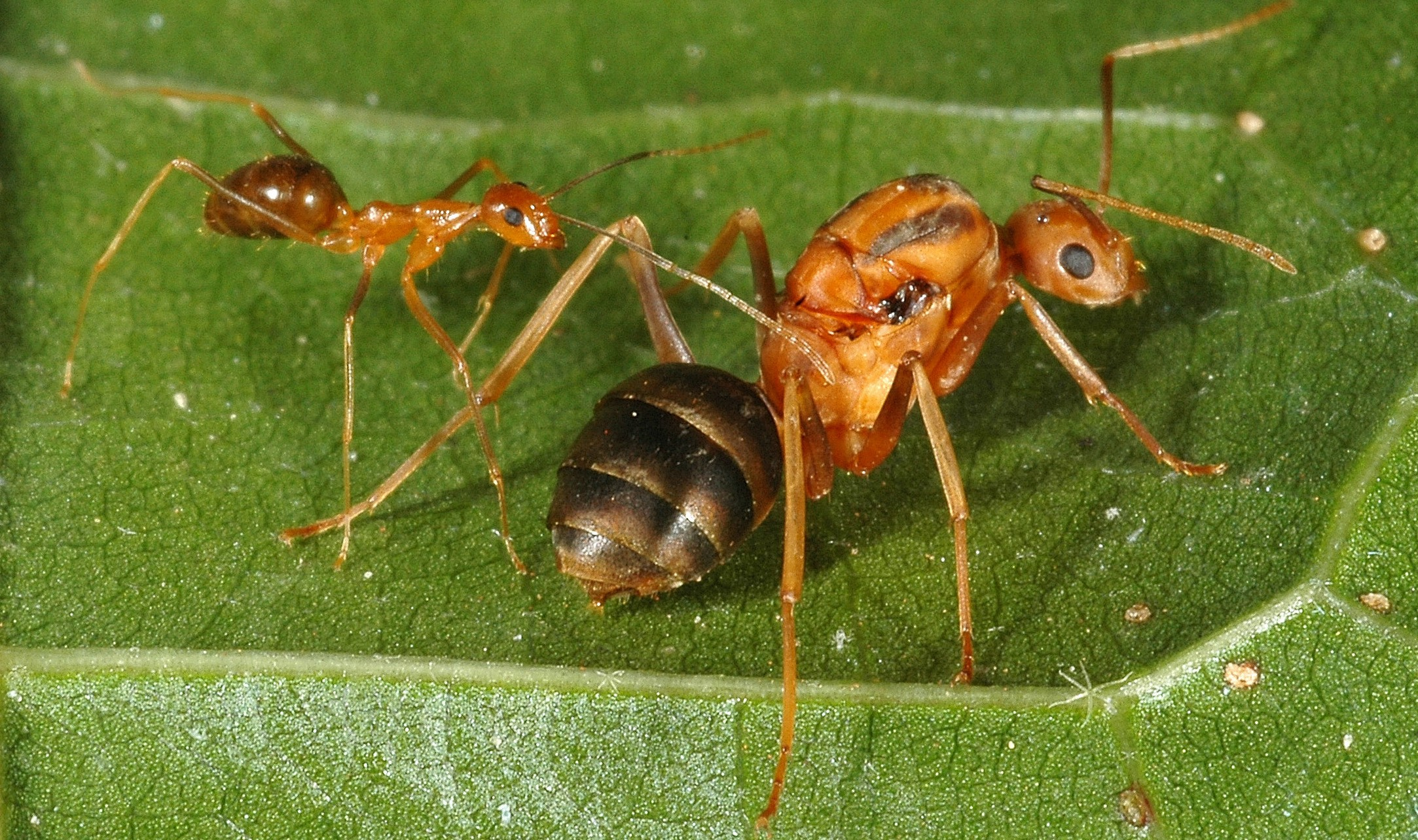 A worker (left) and queen (right) yellow crazy ant.