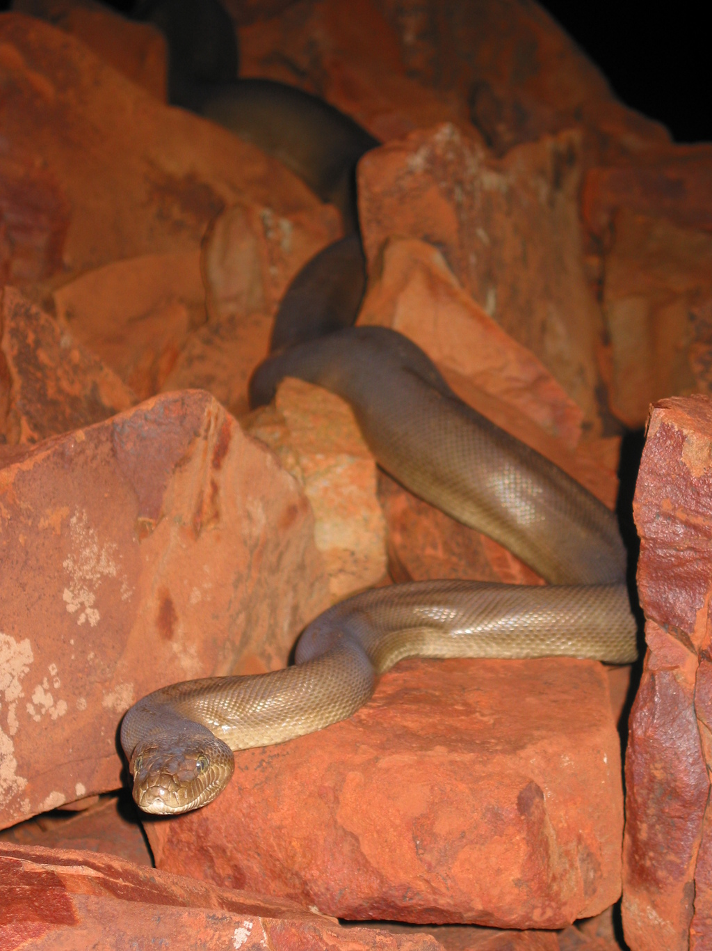 Pilbara olive python. Image: Michael Tutt/supplied