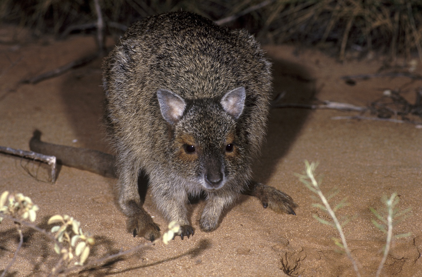 Spectacled hare wallaby. Image: Jiri Lochman/supplied