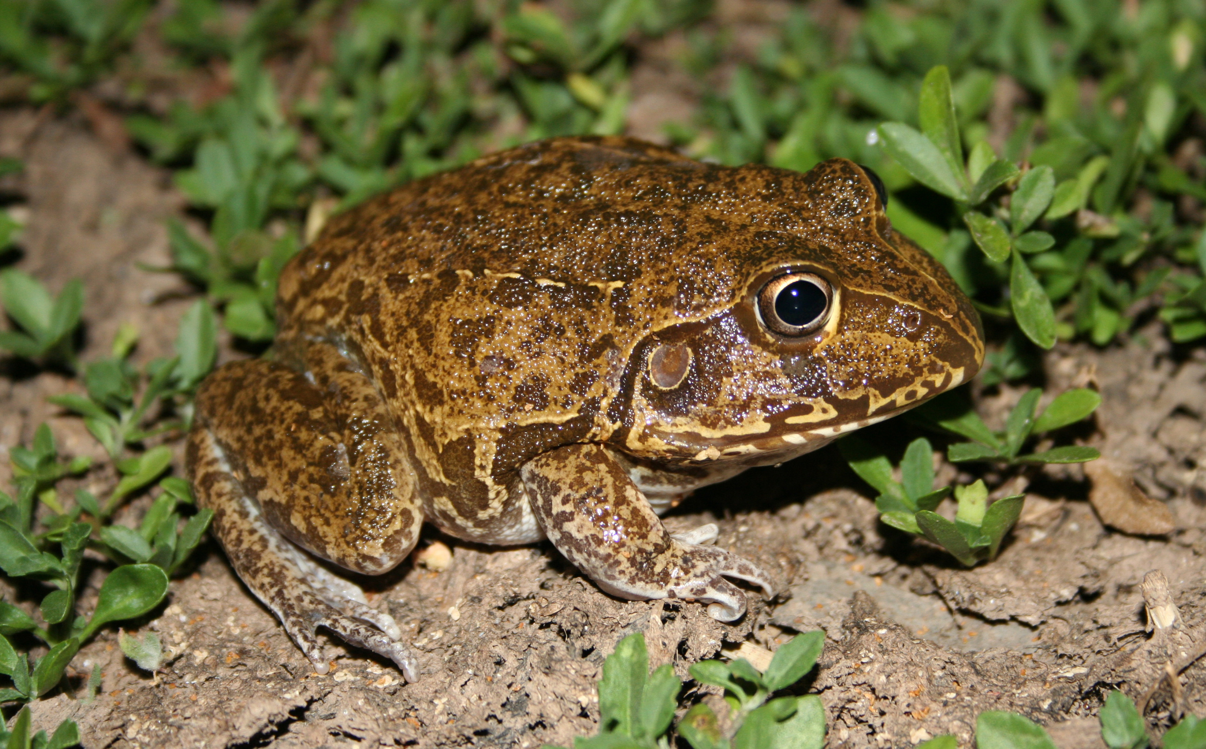 A large brown and yellow frog
