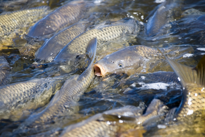 A picture of Carp fish