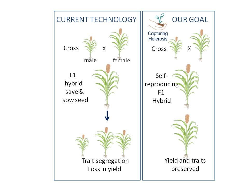 Diagram of planned crop improvement
