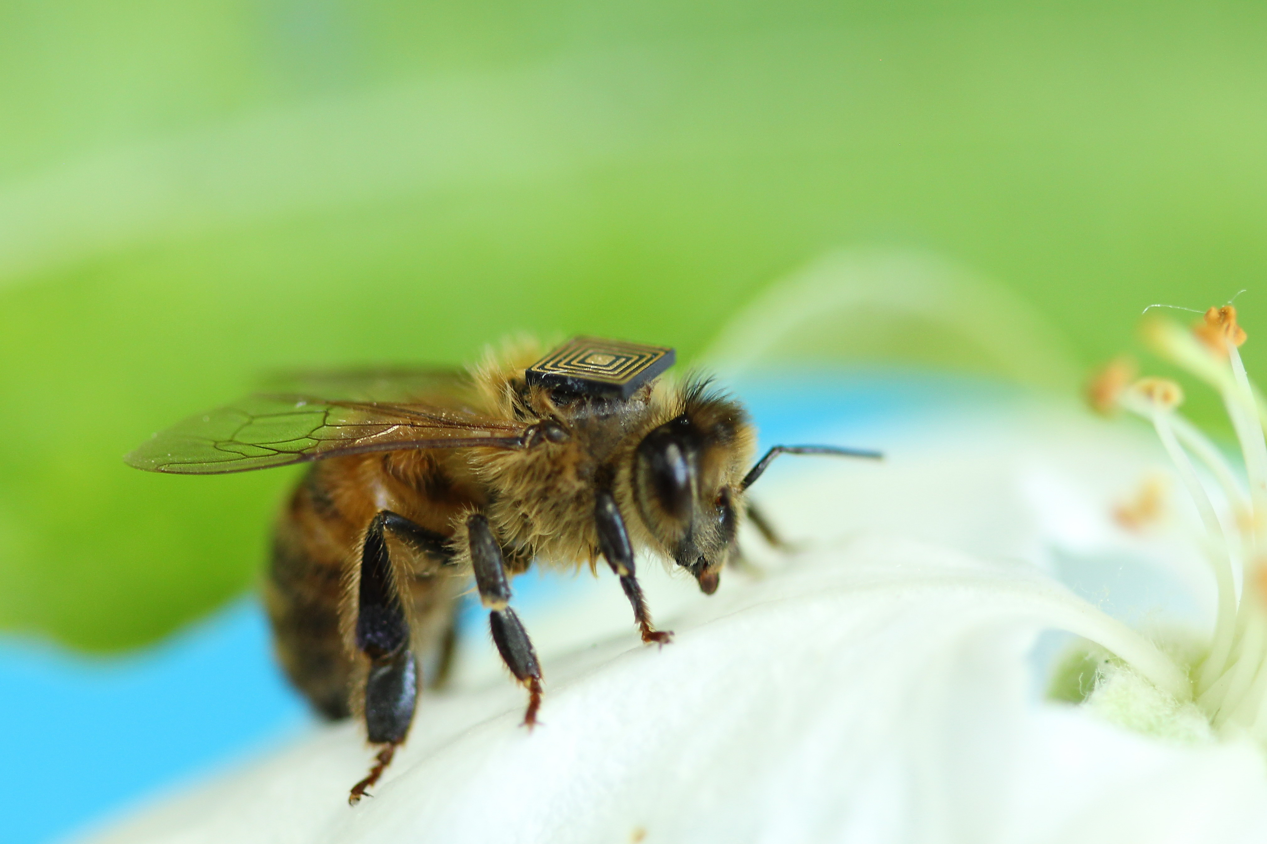 Bee with backpack/