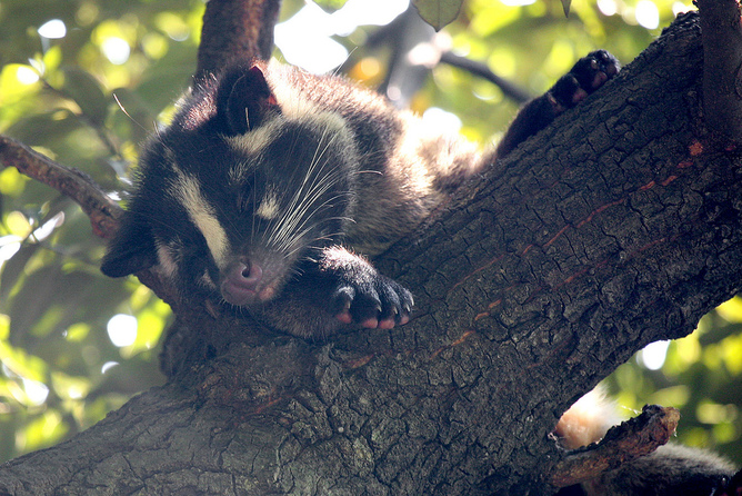 Palm civets can be intermediate hosts of SARS. Kabacchi/Flickr, CC BY