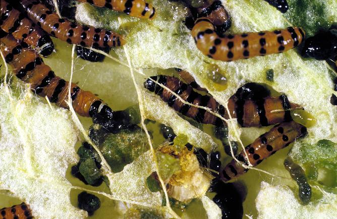 Cactoblastis moth larvae eating prickly pear