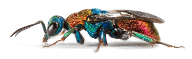 DNA used in the search for ancestors of today's insects such as the Cuckoo wasp (Hedychrum nobile)Oliver Niehuis, Author provided