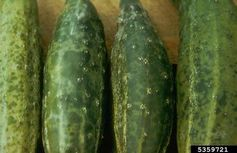 Cucumber Mottle Mosaic Virus, currently affecting cucumbers in the NT. USDA Forest Service/Wikimedia Commons, CC BY