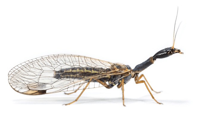A Snakefly (Dichrostigma flavipes) –note how insects didn't give up limbs to evolve wings. Dr Oliver Niehuis, ZFMK, Bonn, Author provided