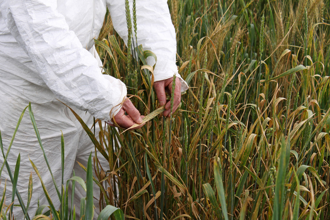 A researcher investigates the wheat rust Ug99 in Kenya. International Maize and Wheat Improvement Center/Flickr, CC BY-NC-SA