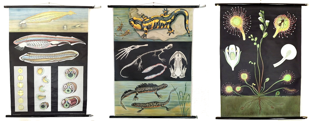 Scrolls depicting the insides of Sir Lancelet, some newts 'n salamanders, and a flowering, devouring Drosera.