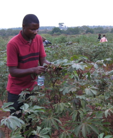 African entomologist, Dr Andrew Kalyebi inspecting cassava plants at a trial site in Uganda. Credit: Sarina Macfadyen CSIRO