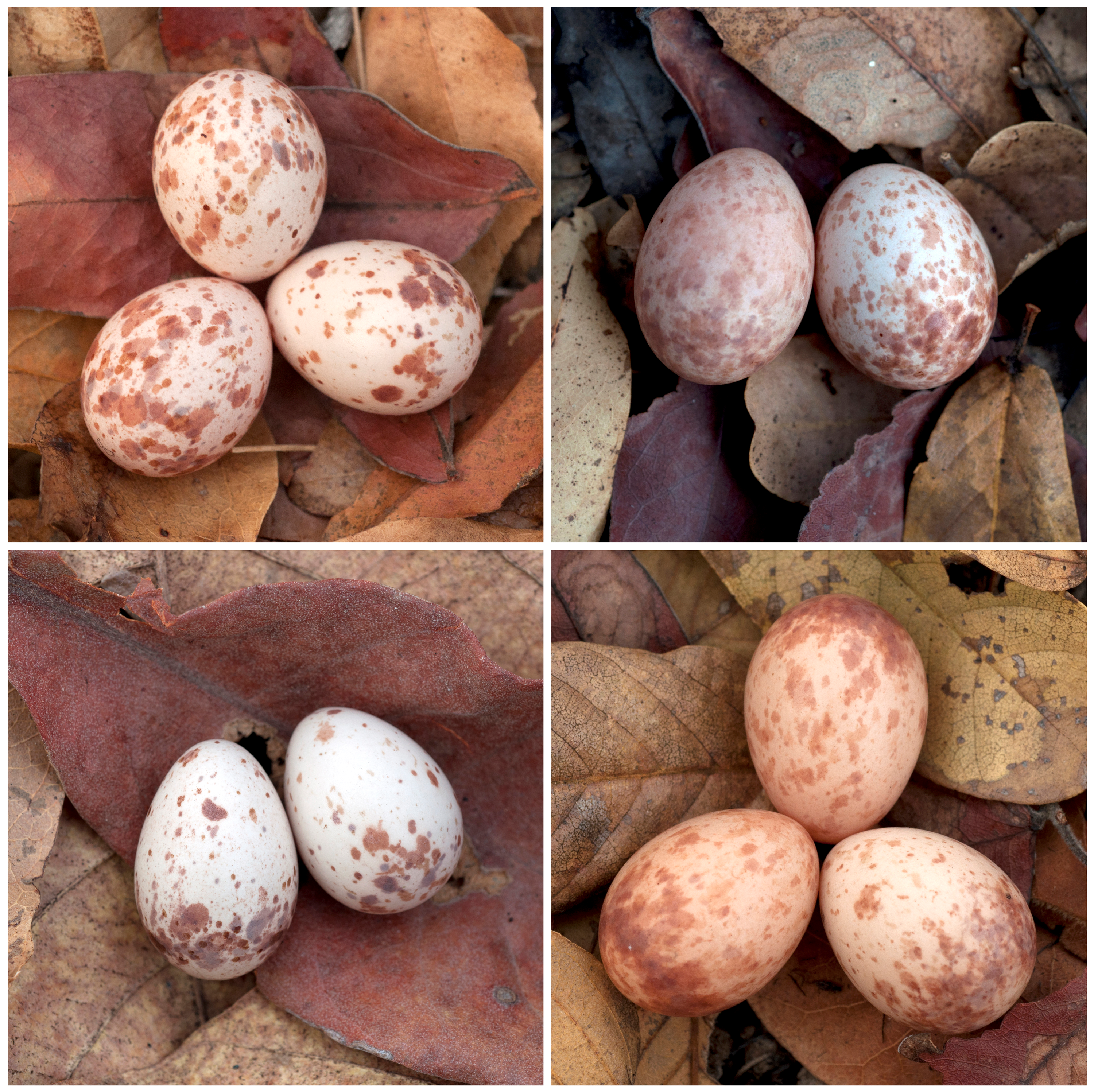 Can you spot the imposter? (A: The cuckoo egg is on the right in each of these clutches.) Flickr: Roayl Society / Claire Spottiswoode, Dorothy Hodgkin