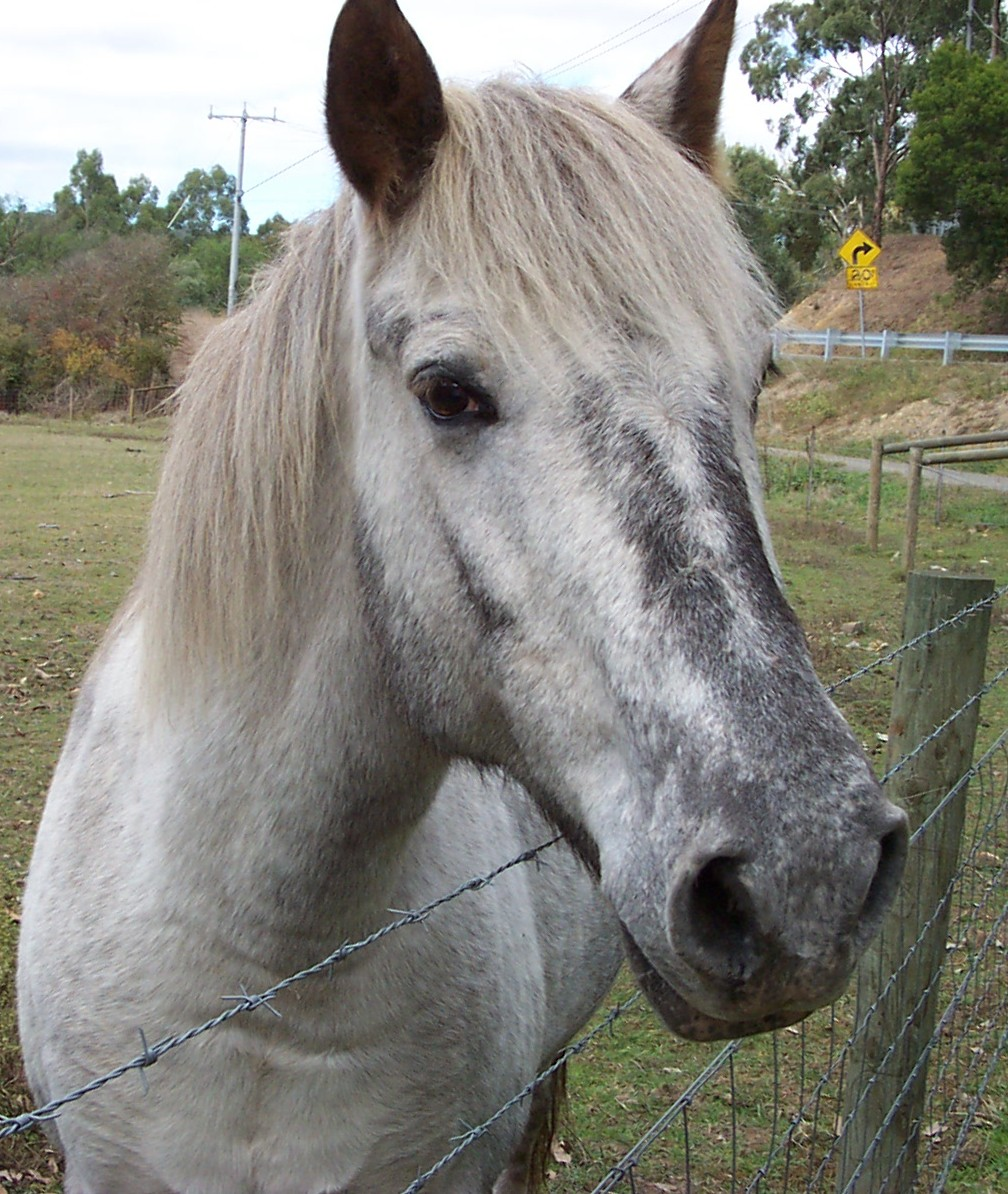 medium close shot of grey horse with neck over a wire fence