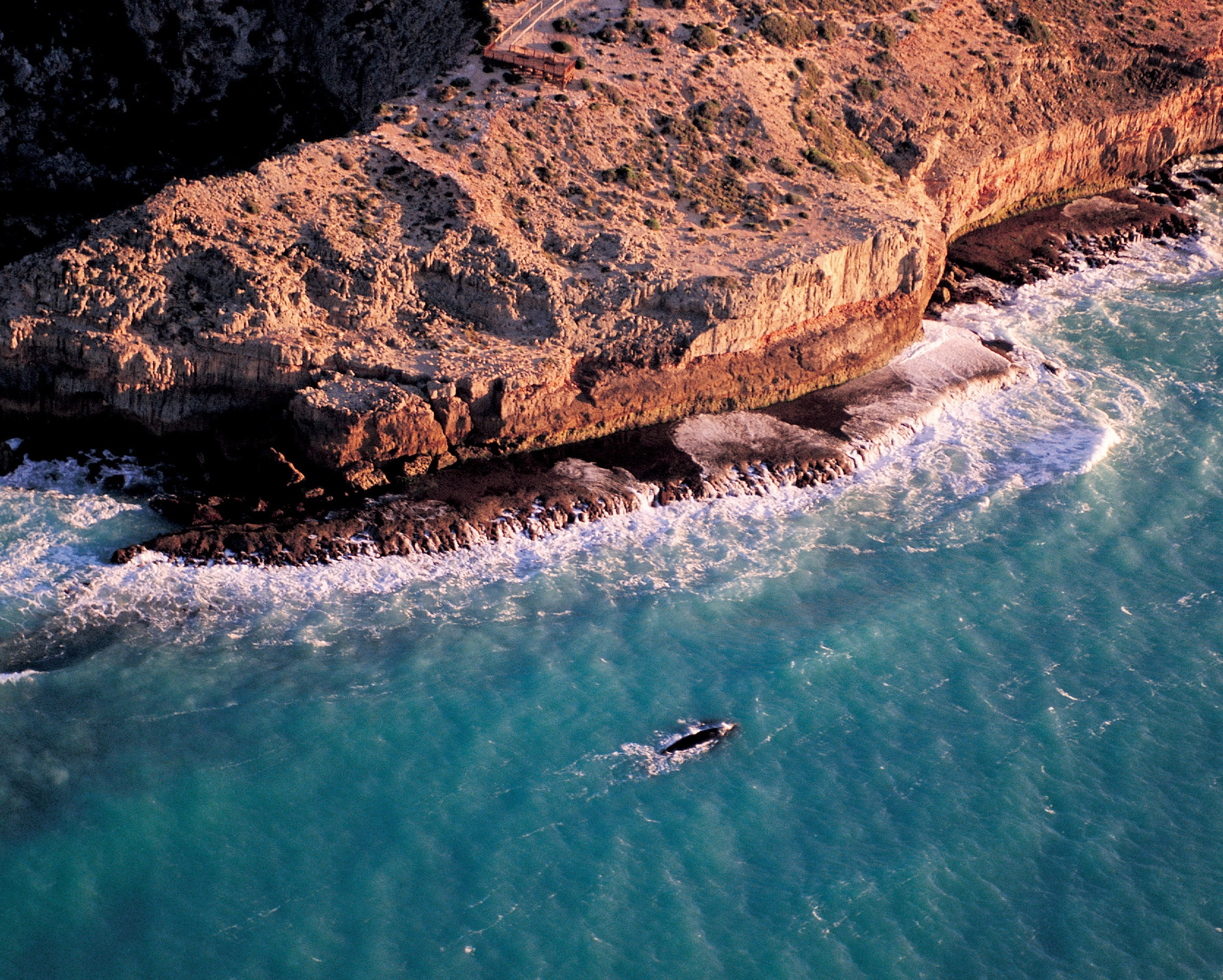 Southern right whale at the Head of Bight, South Australia.