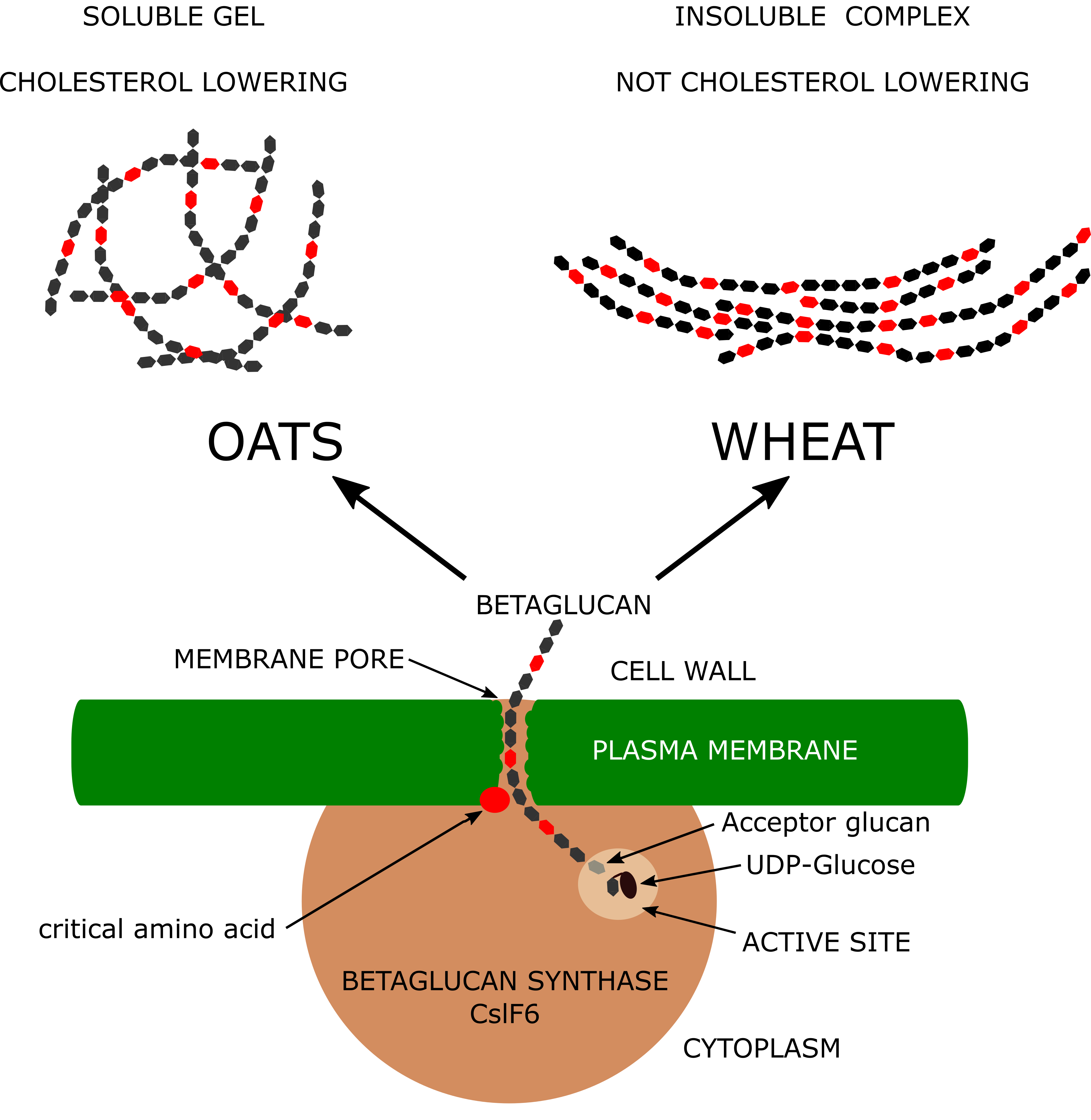 Diagram showing formation of betaglucan.